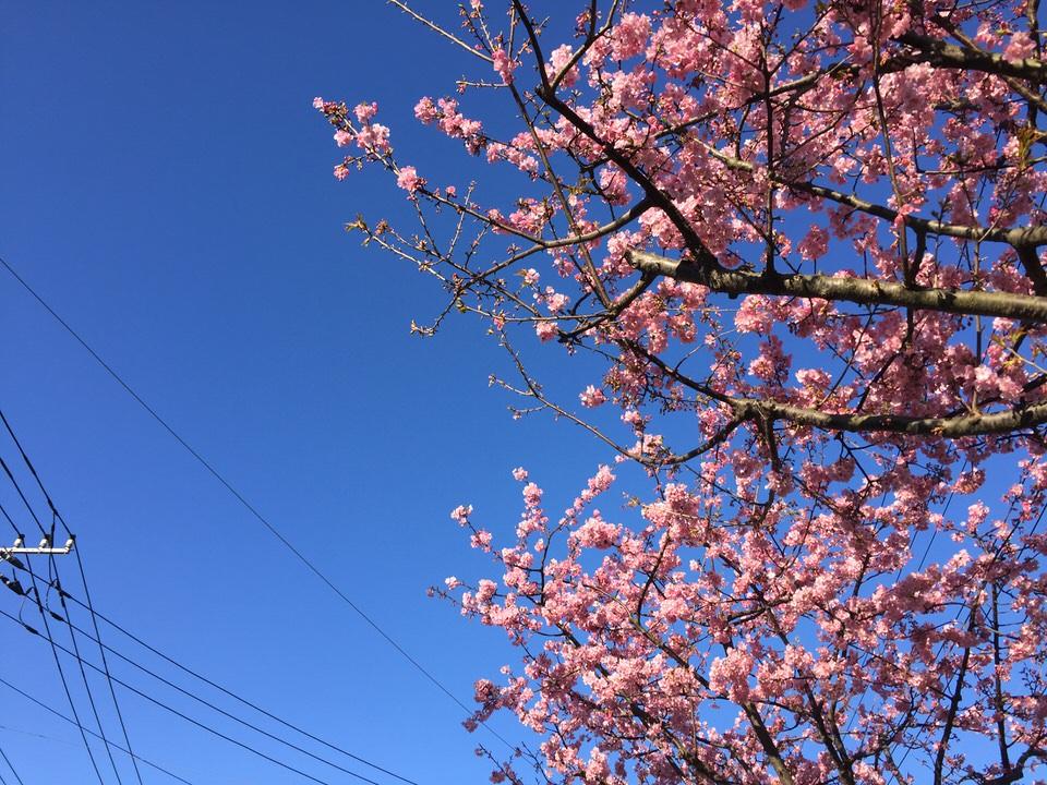 【ホノルルマラソン2017を目指して】綺麗な川津桜が撮れた4kmラン【ランニングノート 2017.2.6】